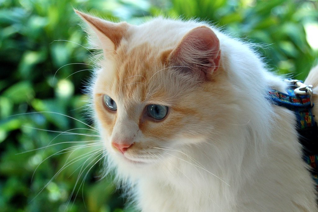Картинки турецкого кота