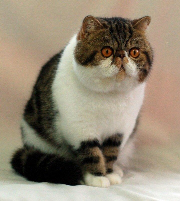картинки котят экзота них помещаются