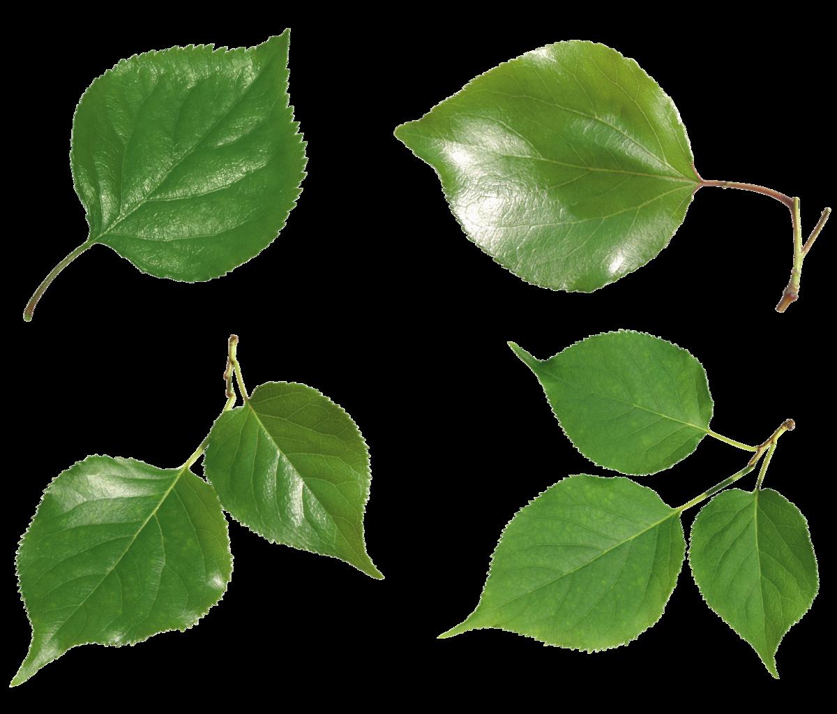 картинки листьев деревьев для презентации файлов