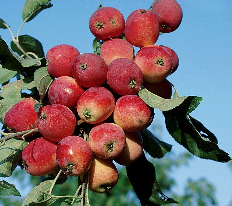 сегодняшний день, яблони для сибири сорта фото и описание фигура, очаровательная