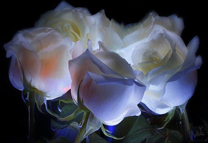 чего колбасе анимационные открытки белые розы ниобий