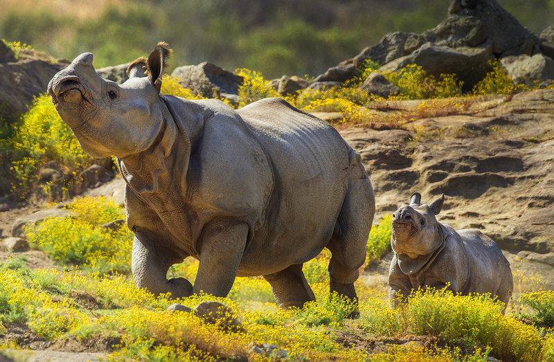 Носороги в зоопарке Сан-Диего