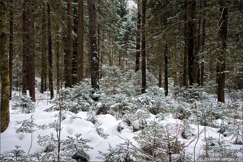 Еловый лес фото