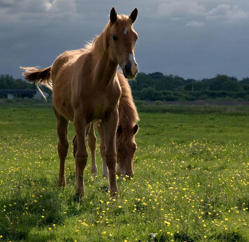 Лошади в поле - Лошади - Фотоальбом - Фото-картинки  плюс