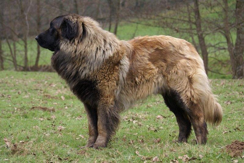 Самые большие породы собак. Топ-30 (с фотографиями)