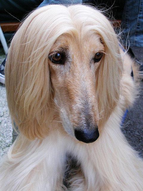 Собачка-красавица породы афганская борзая. Фото