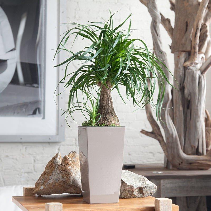 Пальма Ponytail в интересном горшке, геометрической формы