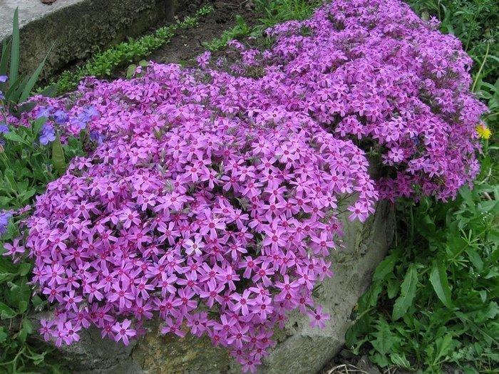 Флокс друммонда: выращивание и уход в открытом грунте. РАСТЮНЬКА 33