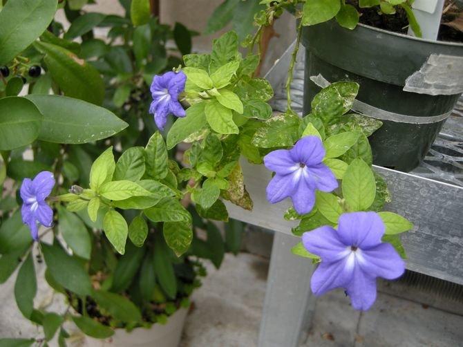 Цветок бровалия уход и размножение