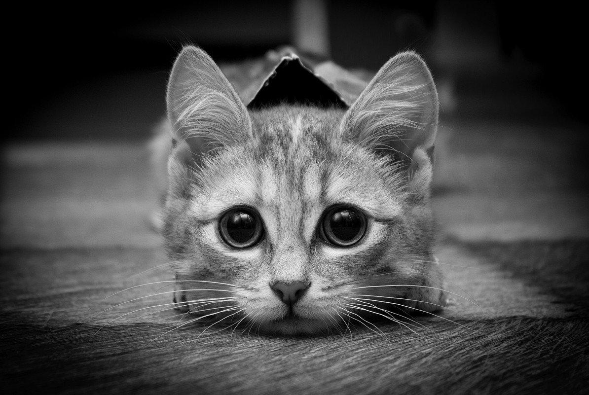 Черно белые красивые картинки кошек