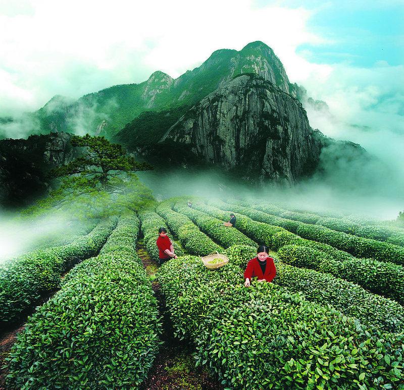 Сбор чая в горах