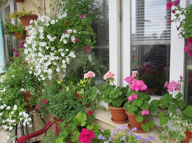 На западных и восточных балконах можно выращивать большинств.