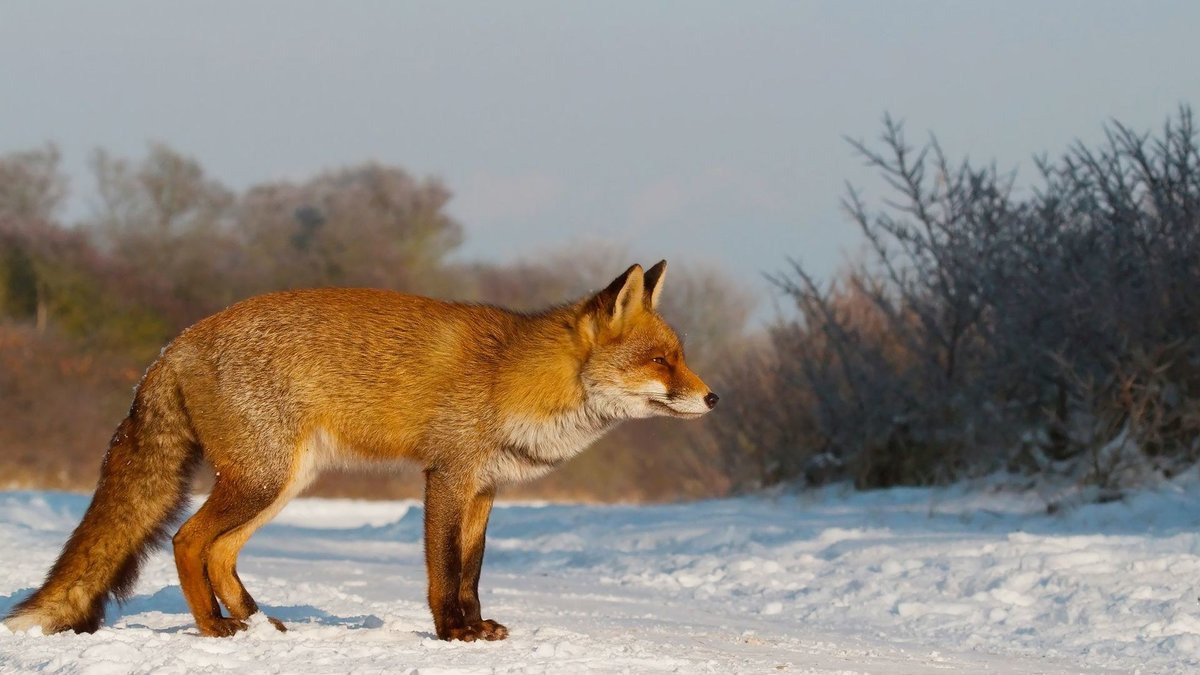 Золото-рыжая лиса среди снега