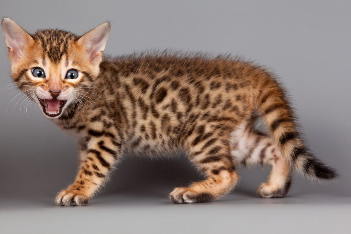 кошка саванна характер