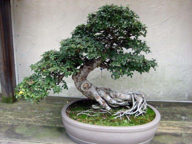 необычный корень дерева