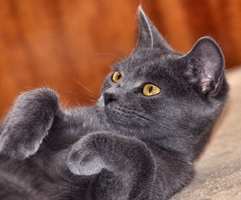 Никакой колбасы, мучного, жирной свинины или фасоли. При натуральном кормлении важно давать коту и витамины.