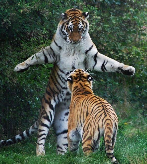Смешные картинки с тигром и надписями