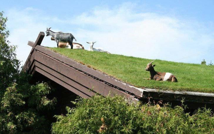 """Озеленение крыши - почему так не популярно в России? Многолетний опыт скандинавских стран в строительстве эко-домов с использованием природных ресурсов и материалов давно показал свою эффективность. Во-первых это экономически выгодно, а во-вторых эстетически приятно.  В частности дома с """"зелеными"""" крыши в настоящее применяются в качестве основной кровли не только в Норвегии, но и активно строятся в других странах Европы и Северной Америки."""