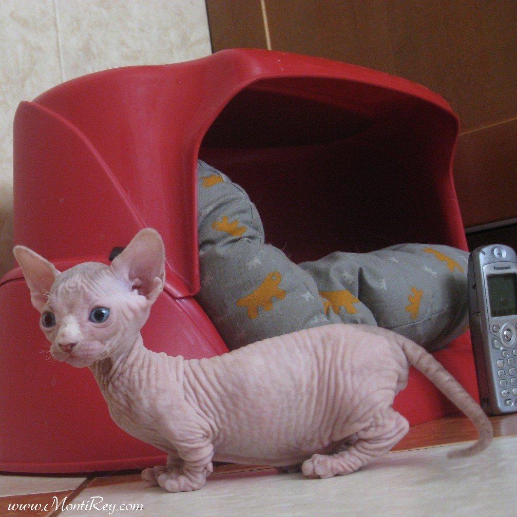 Котята Бамбино очень ласковые, дружелюбные, игривые, никогда не проявляют агрессии и оÑотно идут на контакт с людьми