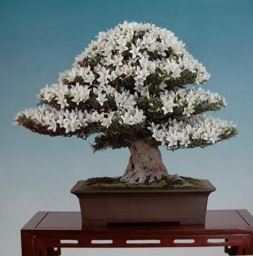 белые цветенее