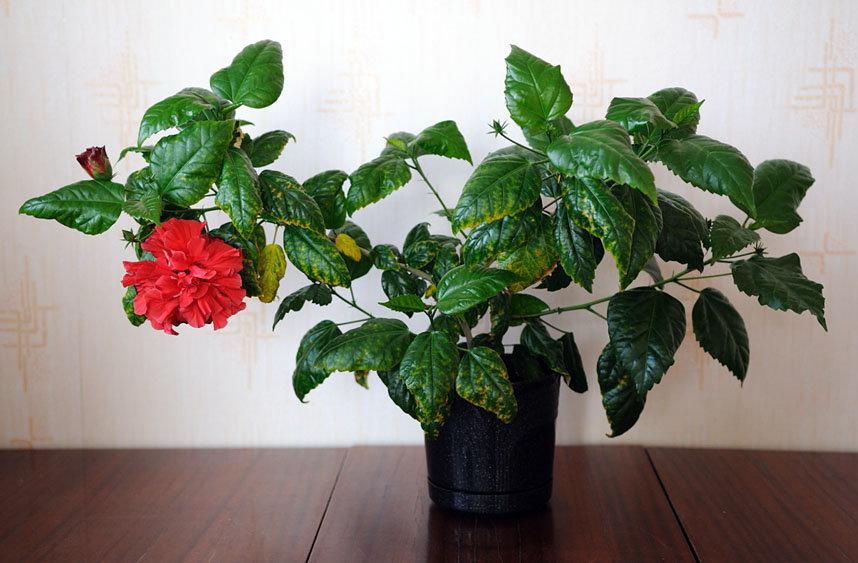 Китайский розан картинки