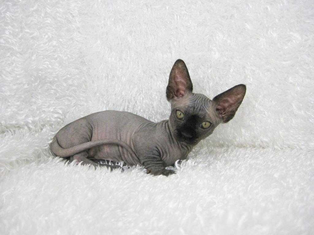 Кошки бамбино обладают здоровым аппетитом.