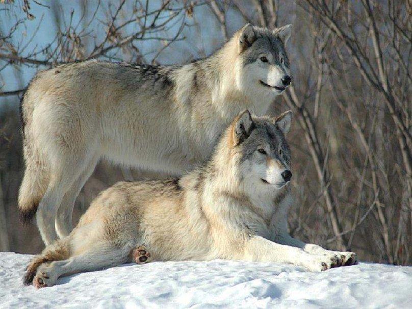 два волка и волчица картинки иных