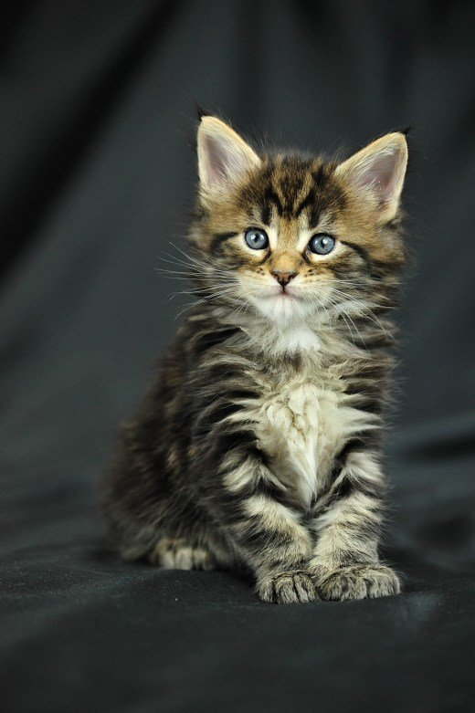 Вес кошки мэйн кун в 1 месяц приблизительно 560 — 740 грамм, а 1 месячный кот мэйн кун  весит порядка 630 — 820 грамм.