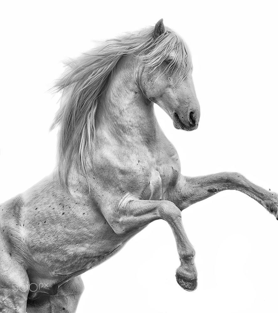 Вздыбленная белая лошадь. купить Номад-фото - фото 153754815 - 500 пикселей