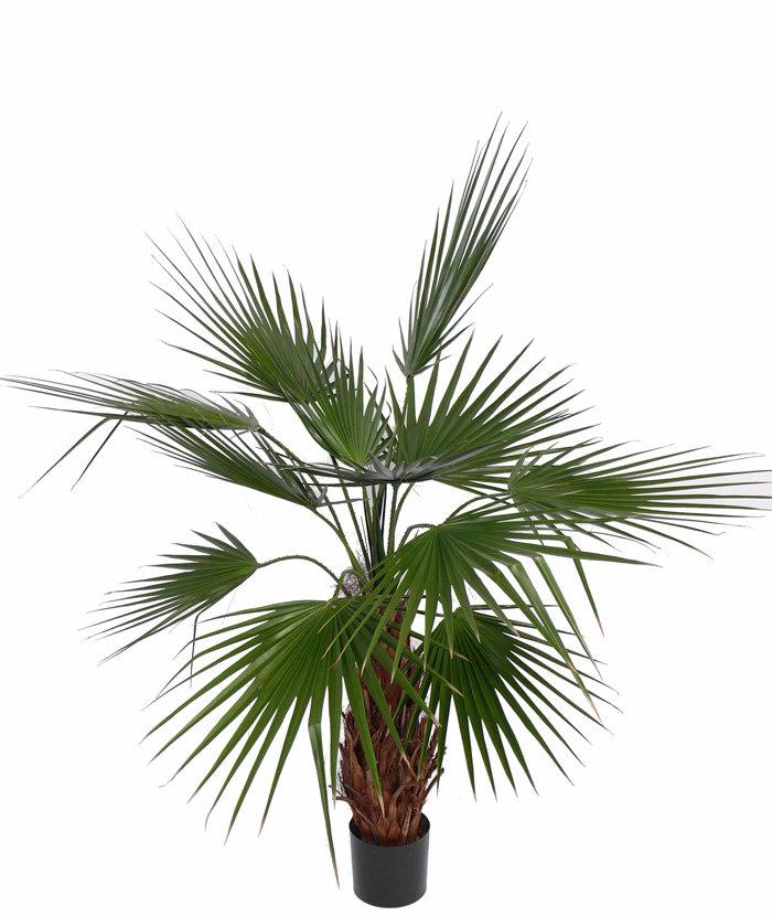 Пальмовые комнатные растения с картинками