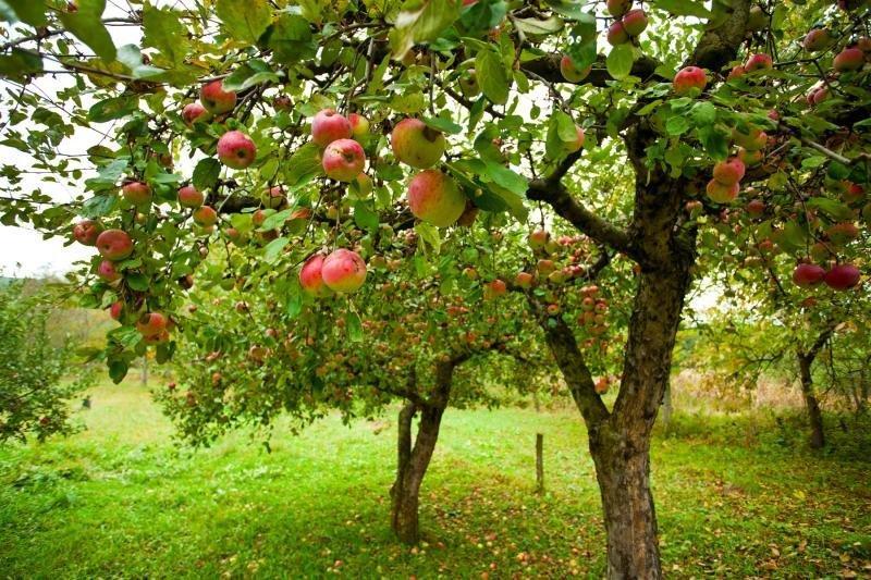 яблуневий садок