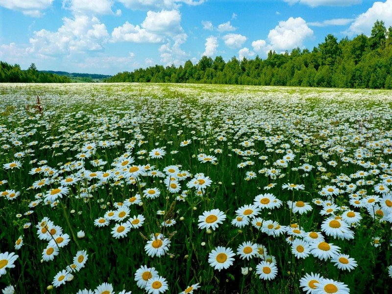 картинка поле ромашковое