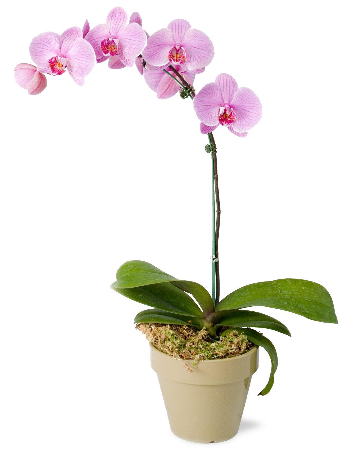 Картинки цветы комнатные орхидеи, приезду