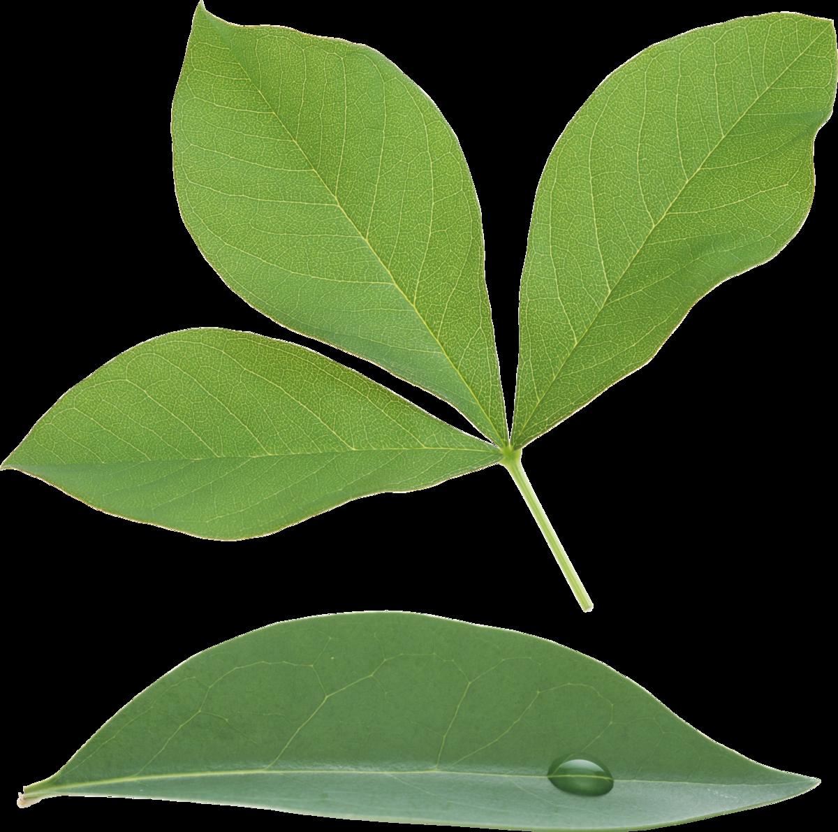 листья широкие рисунок день является