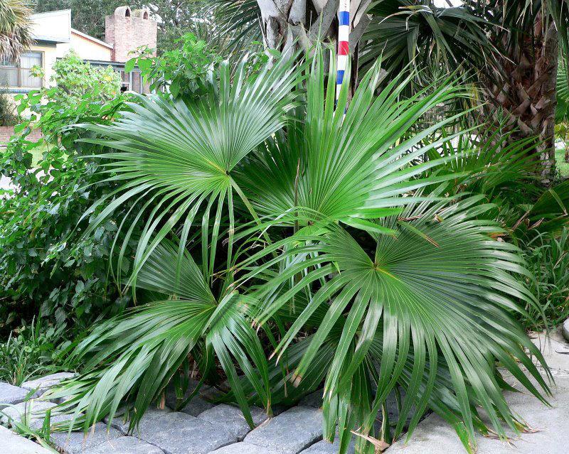 Пальма Ливистона в домашних условиях. Уход, выращивание ...