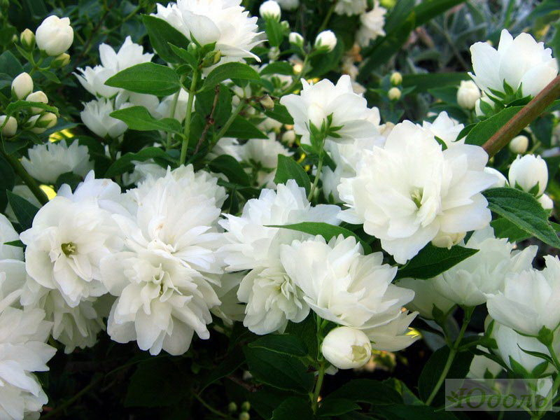 Белые пушистые цветы
