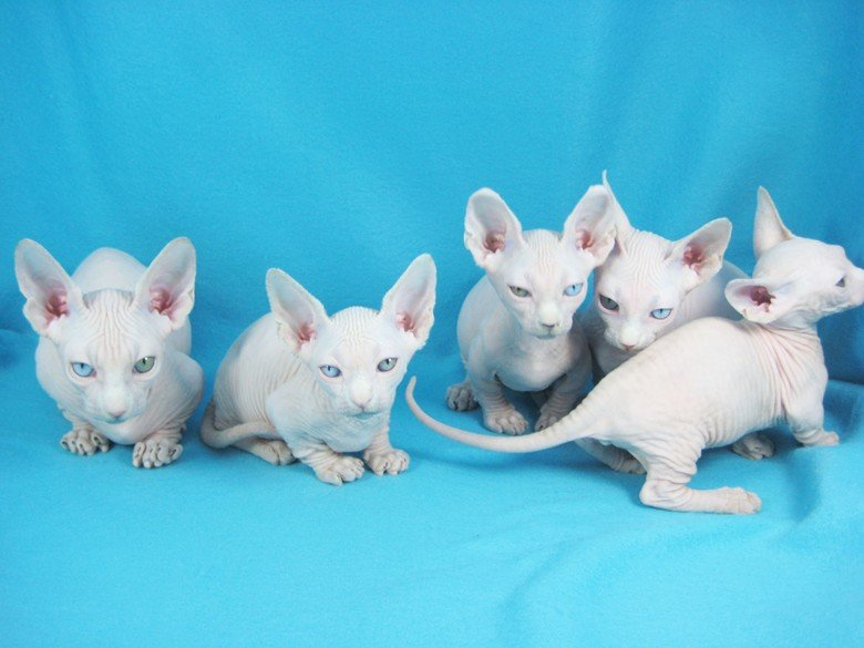 Порода кошек бамбино небольшого роста, коренастые. Тело сильное, горячее, грудная клетка бочковидной формы.