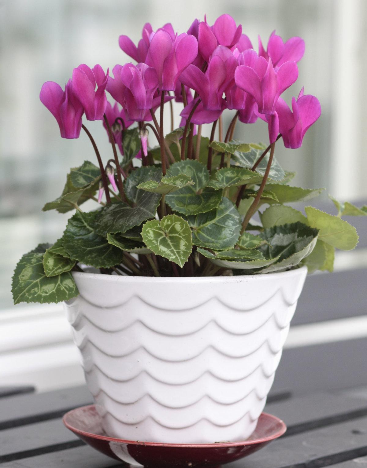 комнатные цветы которые красиво цветут картинки крестьянина для людей