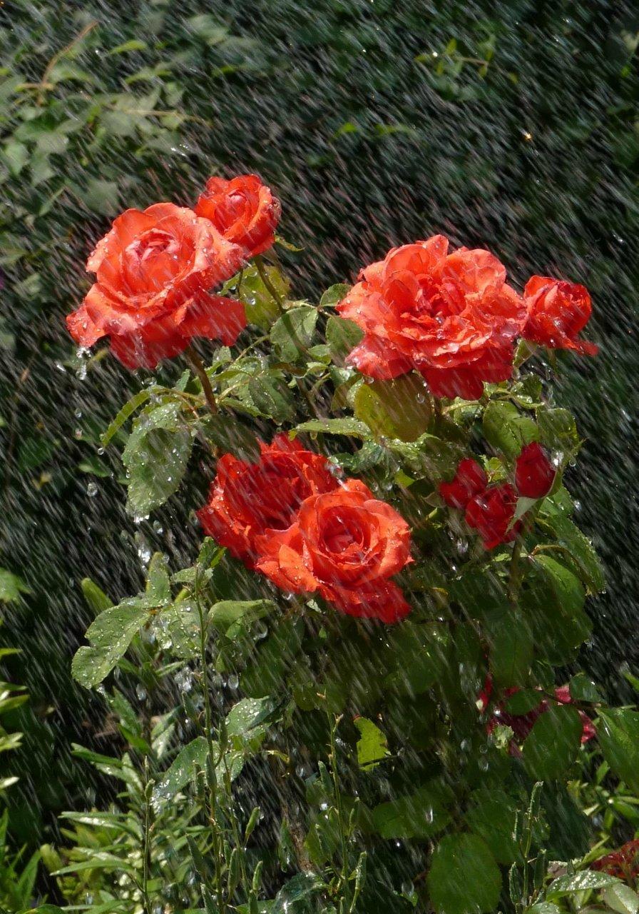 Картинка розы и дождь