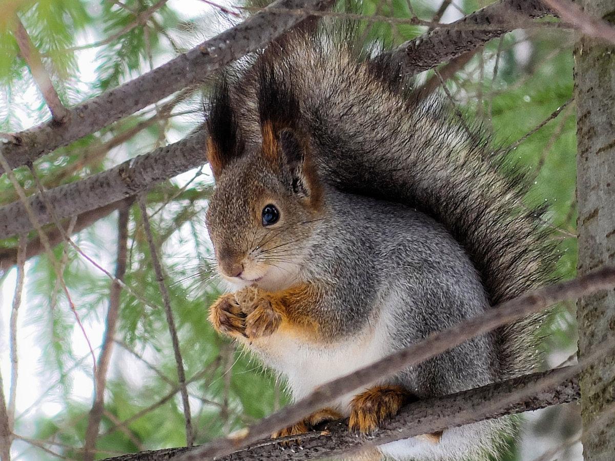 лучший крем фото белки в зимнем лесу есть