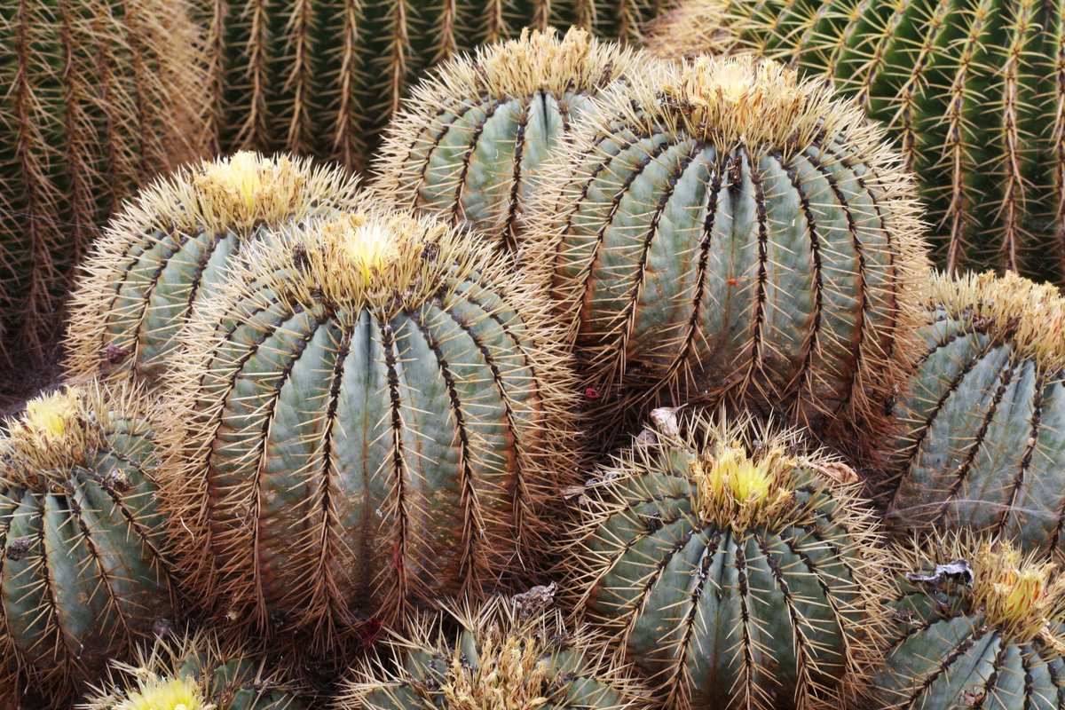продвинутых картинки кактусов и их названия фото бабушка большим