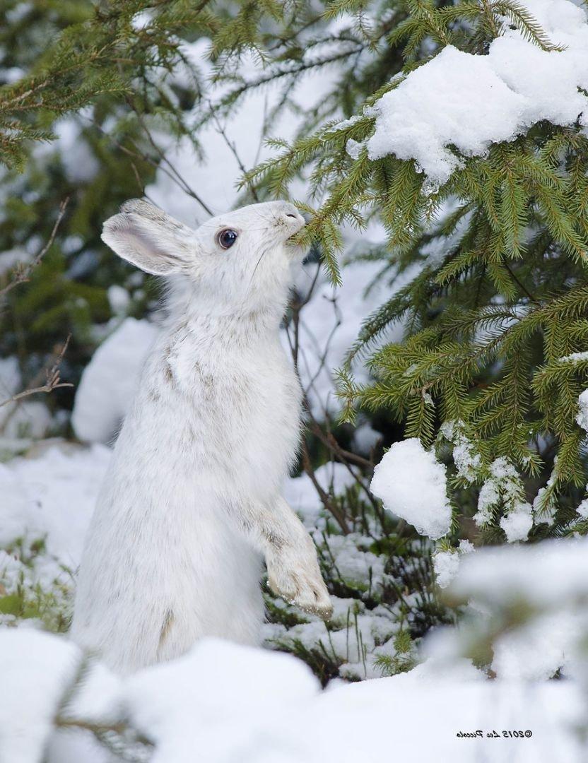 Картинка зайца зимой в лесу