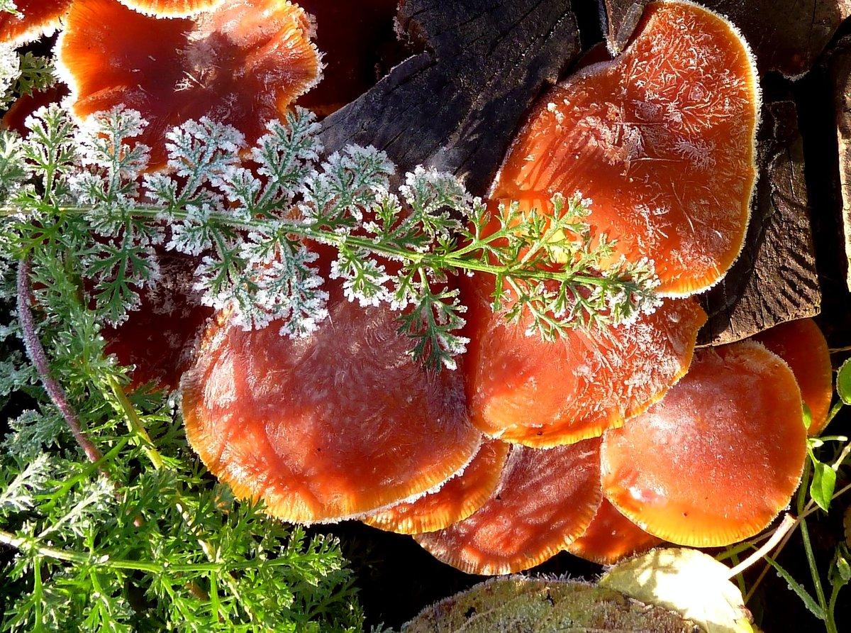 фото грибов в первые морозы расположена сосновом