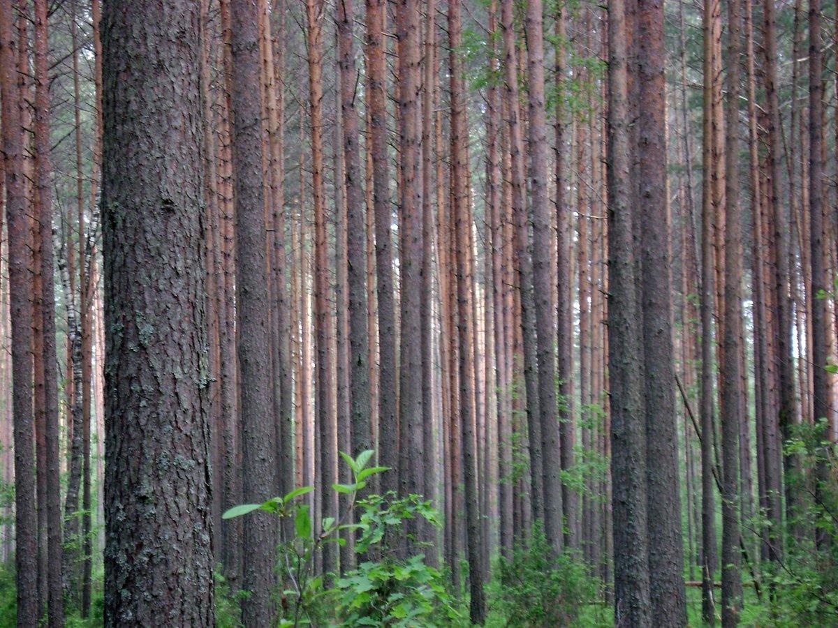 который фото соснового леса гифки счастлива наша