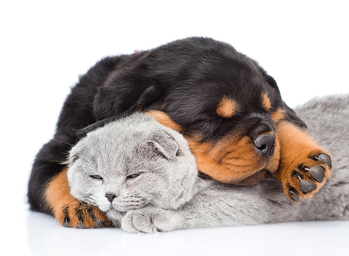 Бесконечно милая фотография. Малыш ротвейлер с котом.
