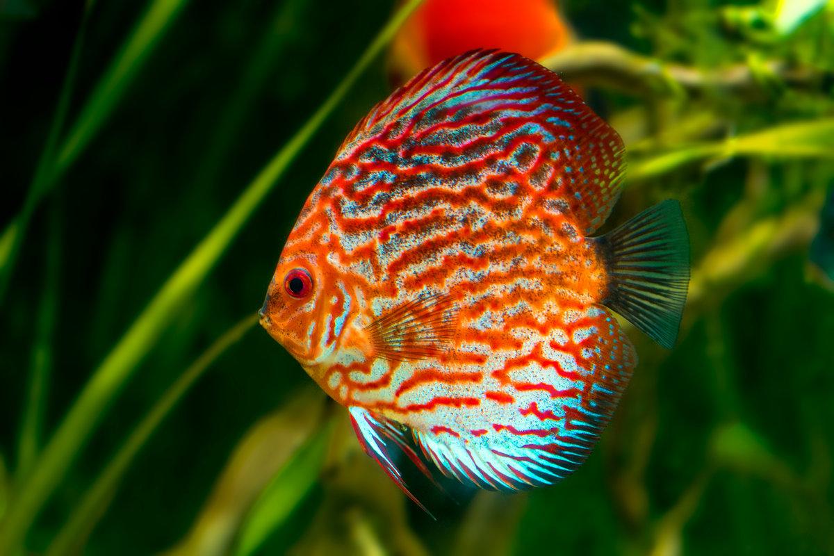 Дискусы рыбки картинки