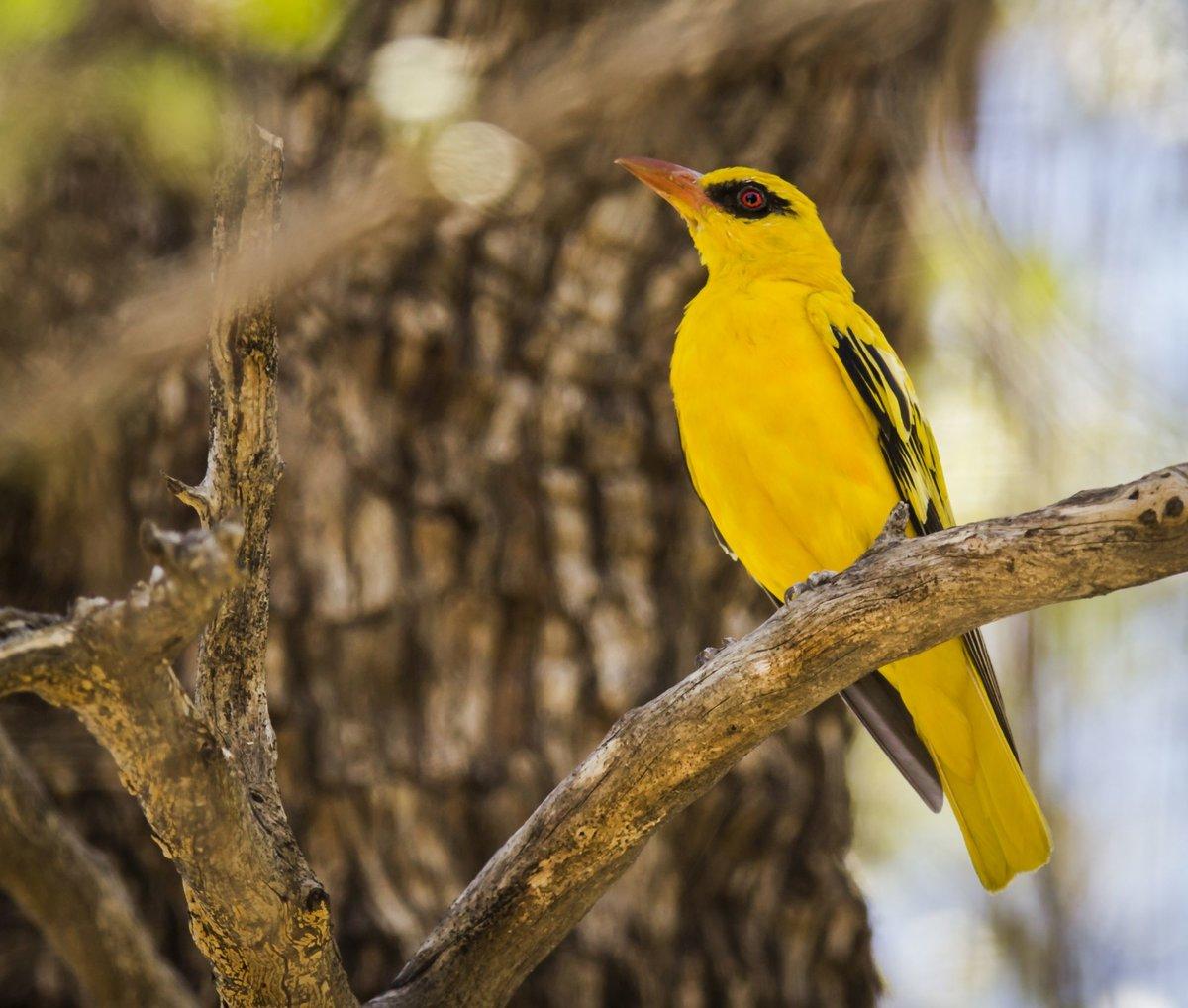 Картинка желтая птица