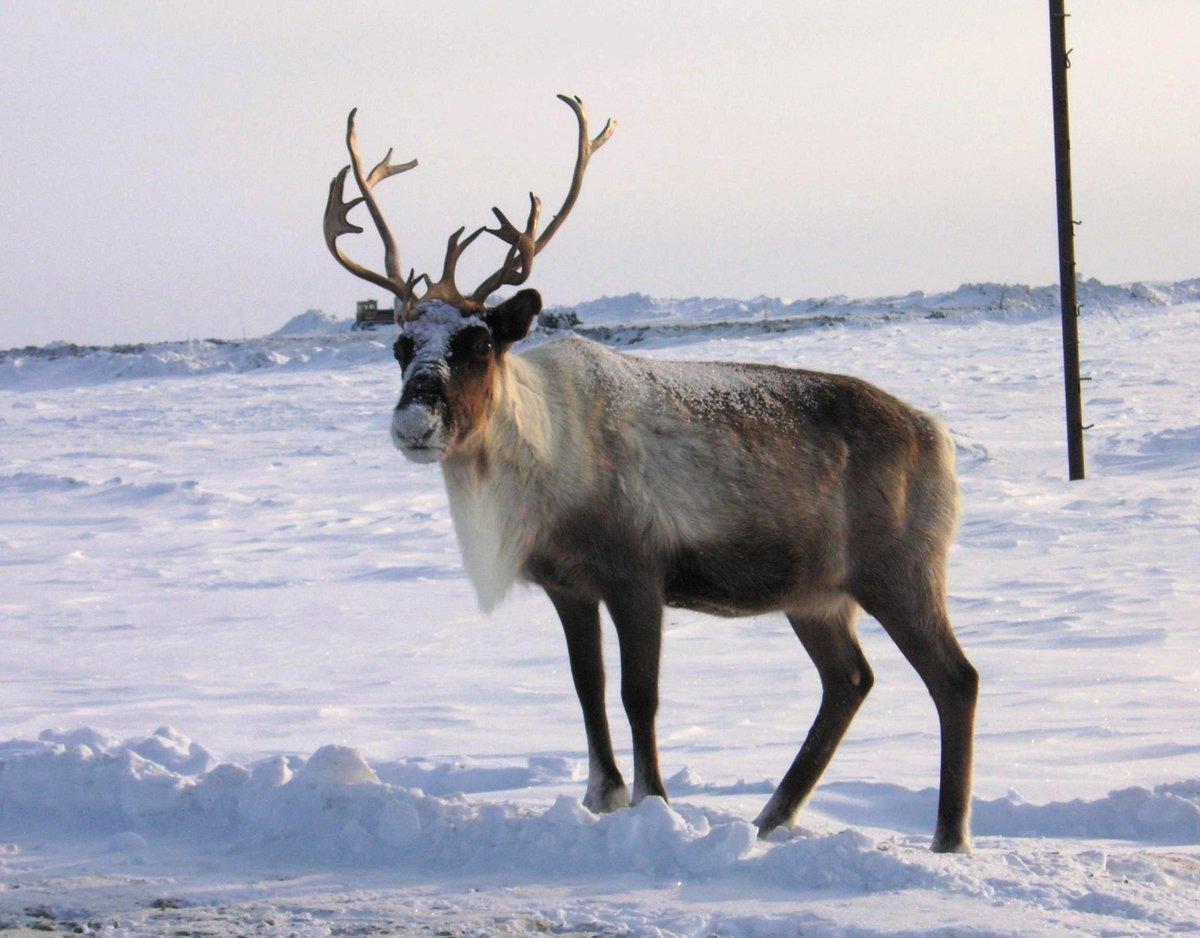 сделанном картинки северный олень в арктике называлась