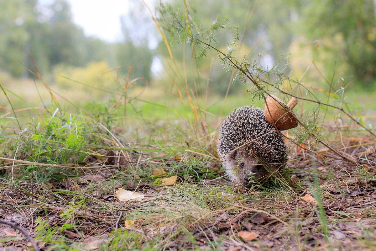 Ежик собирает грибы в лесу картинка