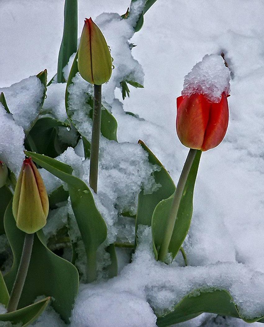 тюльпаны зимой картинки лучи
